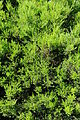 Diosma ericoides plant.JPG