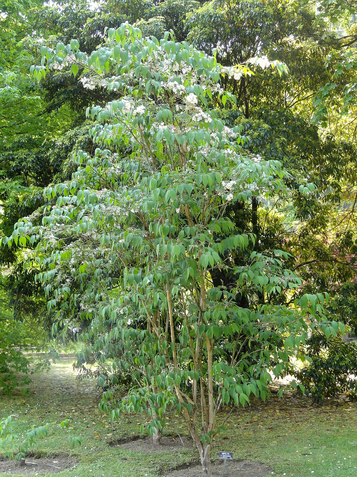 Dipelta floribunda - Wikimedia Commons