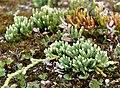 Diphasiastrum alpinum plant (20).jpg
