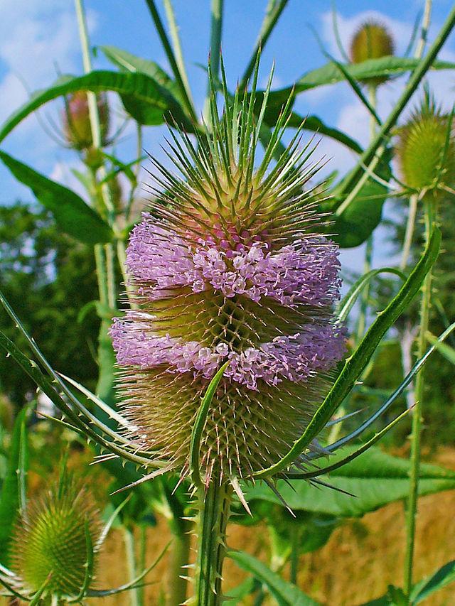 cardere sauvage en fleur