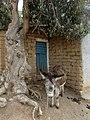 Donkey - panoramio (3).jpg