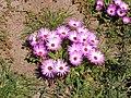 Dorotheanthus bellidiformis-P9200029.jpg