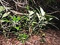 Dorstenia indica-2-chemungi-kerala-India.jpg