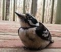 Downy woodpecker (Picoides pubescens) in Durham, NC 3.jpg
