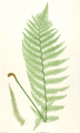 Dryopteris filix-mas Moore15.png