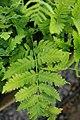 Dryopteris goldiana 5zz.jpg