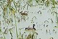 Ducks 19-10-04 192.jpg