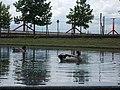 Ducks in Bajor Gizi Park, 2016 Budapest.jpg