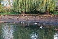 Ducks on the newly-dredged pond at Willoughby - geograph.org.uk - 1566585.jpg