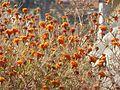 Dying marigold.jpg