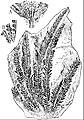 EB1911 Palaeobotany - Matonidium Goepperti.jpg