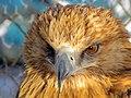 Eagle عقاب 01.jpg