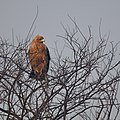 Eagle at Keoladeo National Park.jpg
