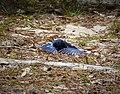 Eastern Bluebird Sialia sialis. Sunbathing (37632244825).jpg