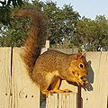 Eastern Fox Squirrel .jpg