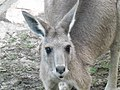 Eastern Grey Kangaroo 11.jpg