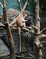 Ebony Langur Javan Lutung Trachypithecus auratus at Bronx Zoo 1.jpg