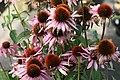Echinacea purpurea Prairie Splendor Deep Rose 0zz.jpg