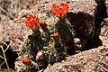 Echinocereus coccineus.jpg