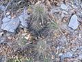 Echinocereus stramineus (5663813874).jpg