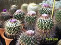 Echinofossulocactus (Stenocactus) (3423723383).jpg