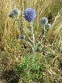 Echinops ritro subsp. ruthenicus sl9.jpg
