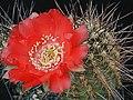 Echinopsis haematantha1b.MW.jpg