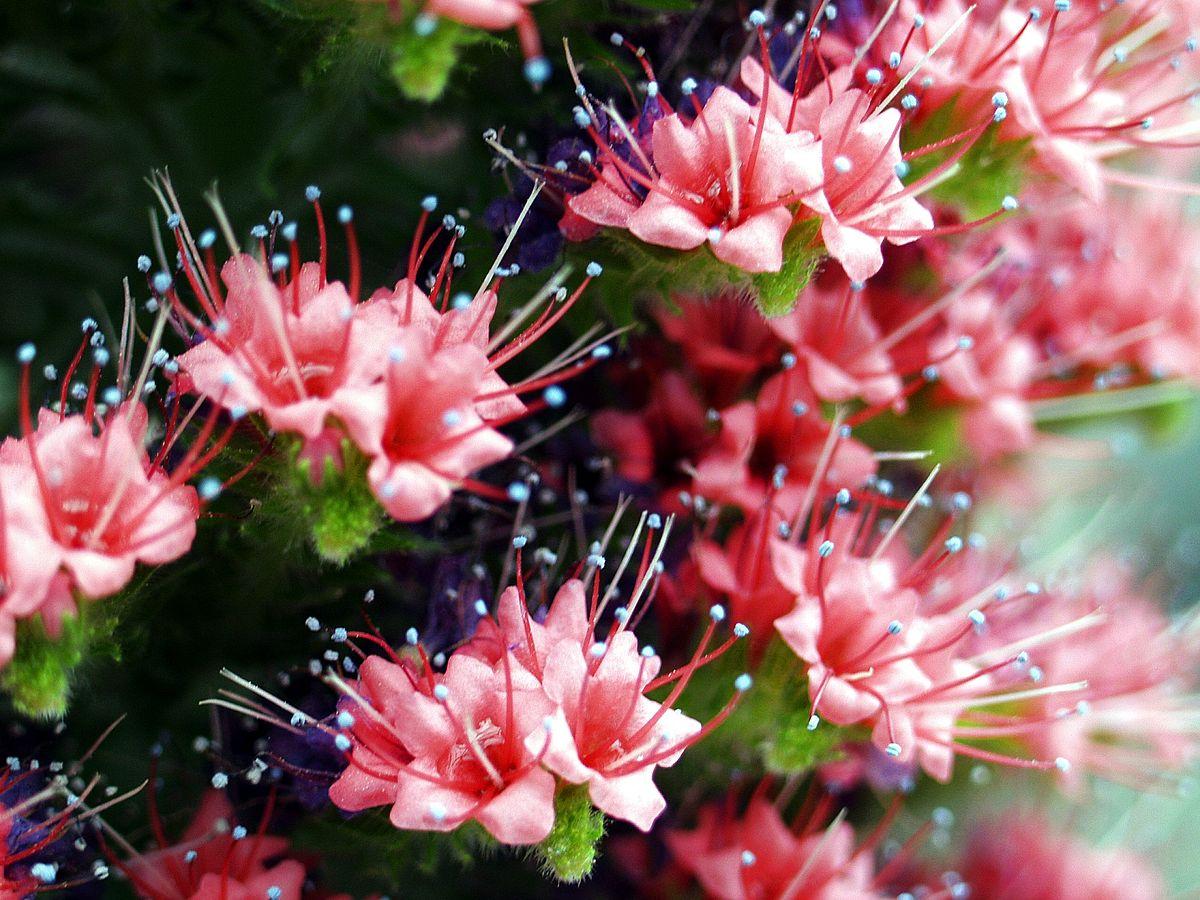 Echium wildpretii wikipedia for Botanische tuin tenerife