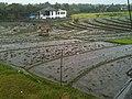 Echo Beach rice fields - panoramio.jpg