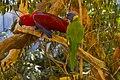Eclectus Parrot - Rainbow Lorrikeet NQld-1 (11886964693).jpg