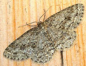 Engrailed (moth) - Image: Ectropis crepuscularia 01