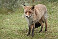 Een vos nogmaals (21822126043).jpg