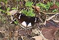 Eggfly (Hypolimnas bolina) oviposing (23531566934).jpg
