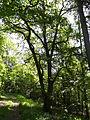 Eiche am Brüler Berg (Hoch-Weisel) 11.JPG