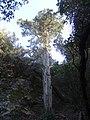 El Teix de Els Caus, Vacarisses (abril 2013) - panoramio.jpg