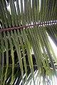 Elaeis guineensis 20zz.jpg