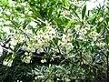 Elaeocarpus hainanensis 03.JPG