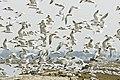 Elegant tern flock (Sterna elegans) (6796577829).jpg