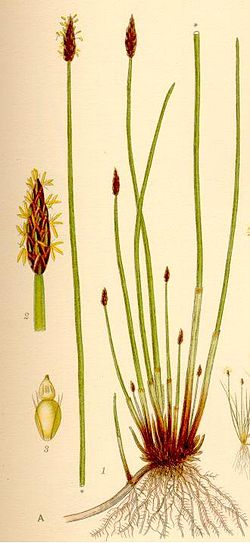 Eleocharis palustris.jpg