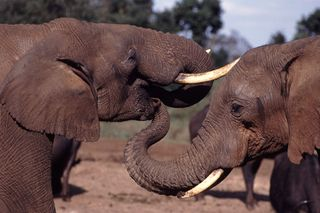 Eléphant 6 dans ELEPHANT 320px-Elephant_With_Trunk_In_Others_Mouth