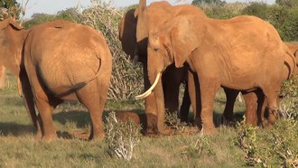 Fitxategi:Elephant giving birth in Tsavo East National Park, Kenia.webm