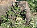 Elephant maximus dans le Parc national d' Udawalawa.JPG