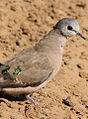 Emerald-spotted Wood Dove, Turtur chalcospilos at uMkhuze Game Reserve, kwaZulu-Natal, South Africa (15416037056).jpg