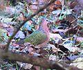 Emerald Dove at Tikarpara Odisha India December 2012.jpg