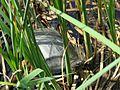 Emys orbicularis, Kyiv 17.JPG