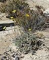 Enceliopsis nudicaulis var corrugata 1.jpg