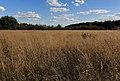 Entenfang Rasen-Schmiele Deschampsia cespitosa 7623.jpg
