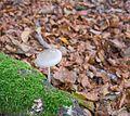Entzia - Oudemansiella mucida 01.jpg