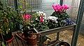 Enzian im Wintergarten 03.jpg