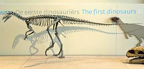 Skelettrekonstruktion von Eoraptor lunensis in Brüssel